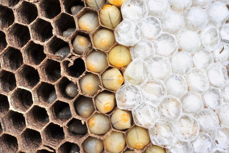 Wasps nest royalty free stock photos