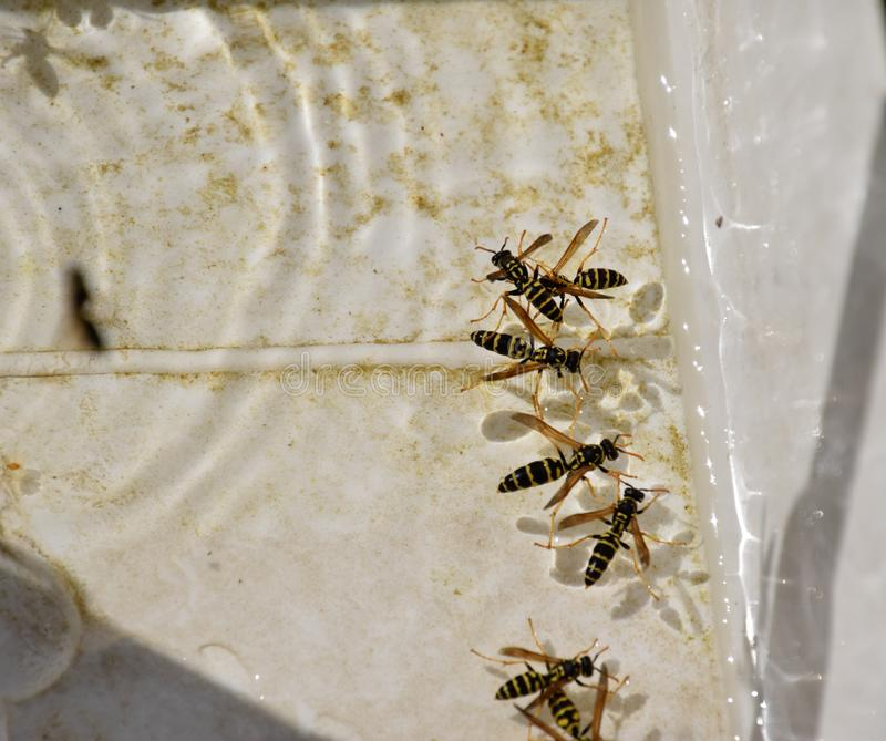 Wasps Polistes drink water. The ability of wasps Polistes not sink in water stock photo