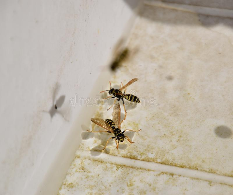 Wasps Polistes drink water. The ability of wasps Polistes not sink in water stock images