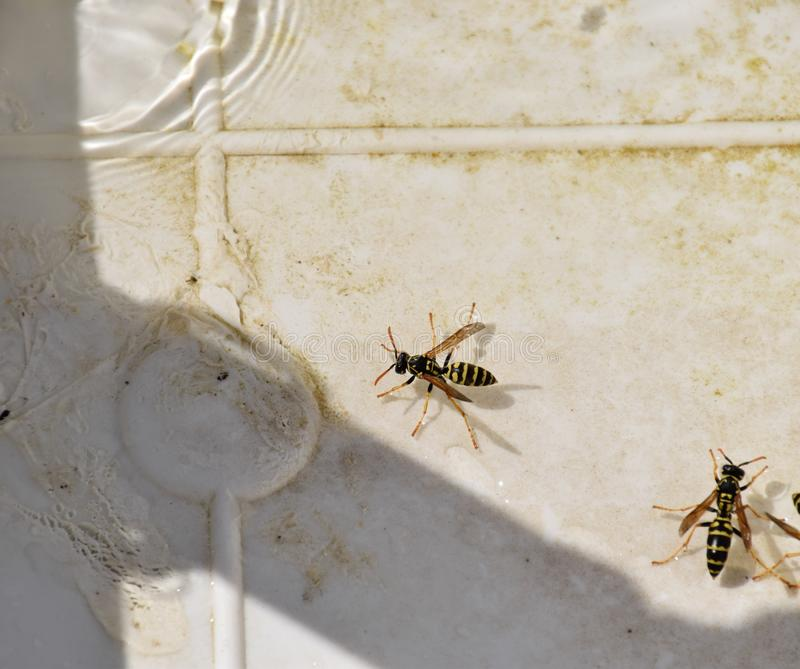 Wasps Polistes drink water. The ability of wasps Polistes not sink in water royalty free stock photo