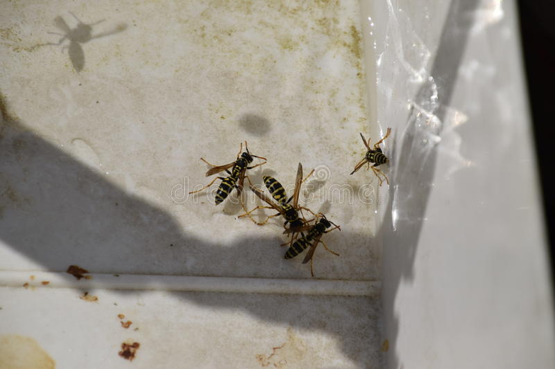 Wasps Polistes drink water. The ability of wasps Polistes not sink in water royalty free stock photos