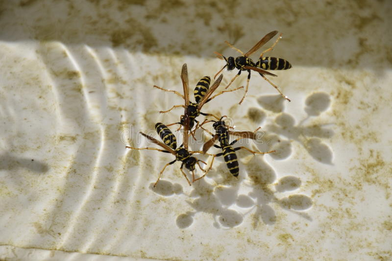 Wasps Polistes drink water. The ability of wasps Polistes not sink in water stock photos