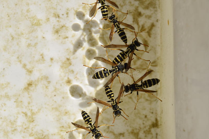 Wasps Polistes drink water. The ability of wasps Polistes not sink in water royalty free stock photography