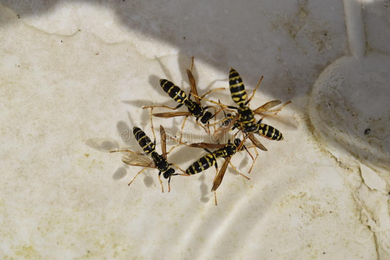 Wasps Polistes drink water. The ability of wasps Polistes not sink in water stock photography