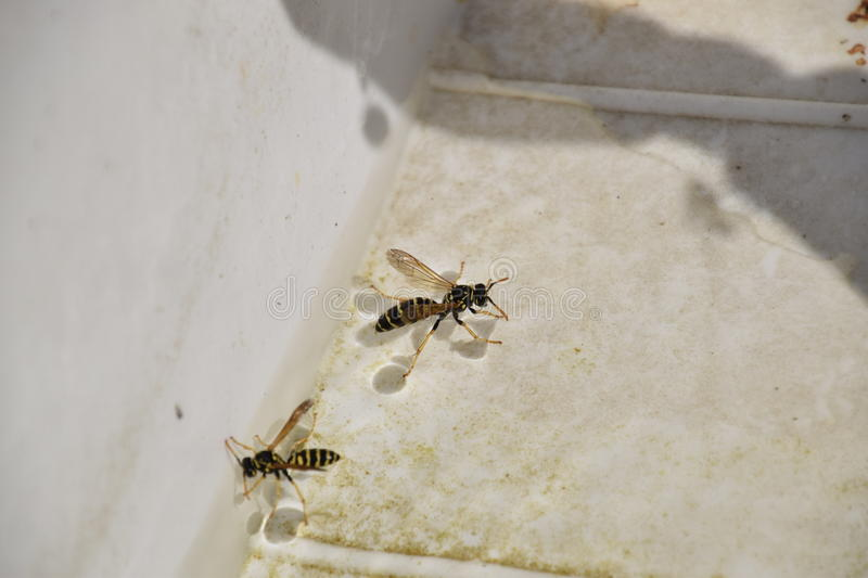 Wasps Polistes drink water. The ability of wasps Polistes not sink in water royalty free stock images