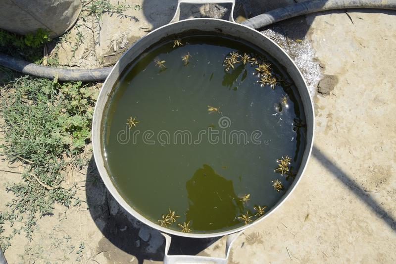 Wasps drink water from the pan, swim on the surface of the water. Wasps fly over the water. Wasps Polistes drink water. Wasps Polistes drink water. Wasps drink royalty free stock photo