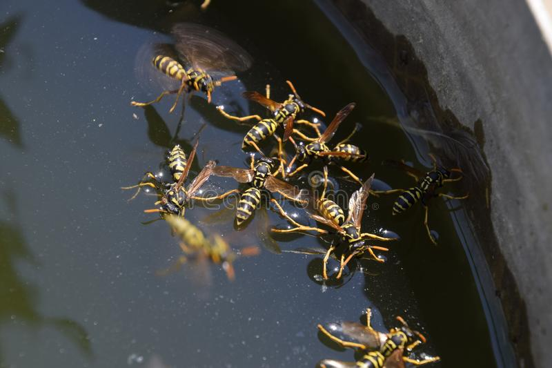 Wasps drink water from the pan, swim on the surface of the water. Wasps fly over the water. Wasps Polistes drink water. Wasps Polistes drink water. Wasps drink royalty free stock photography