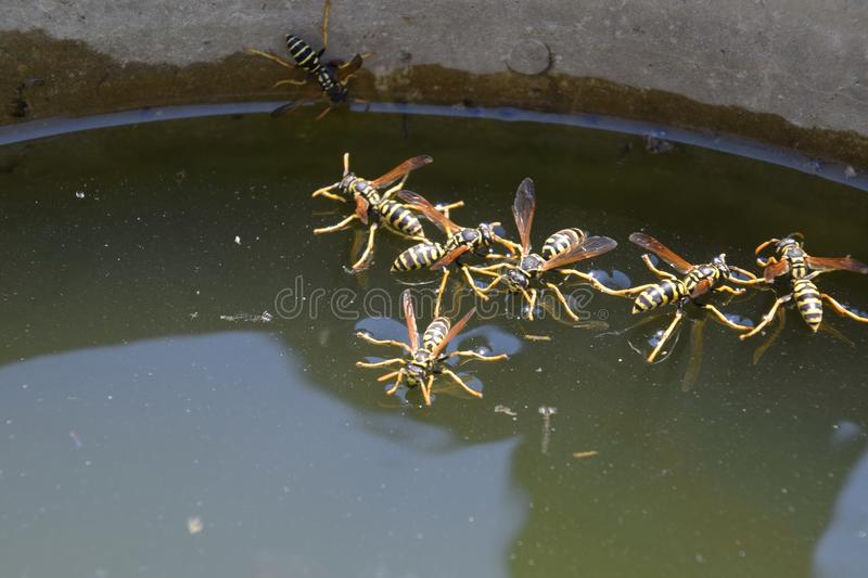 Wasps Polistes drink water. Wasps drink water from the pan, swim on the surface of the water, do not sink. Wasps drink water from the pan, swim on the surface royalty free stock photo