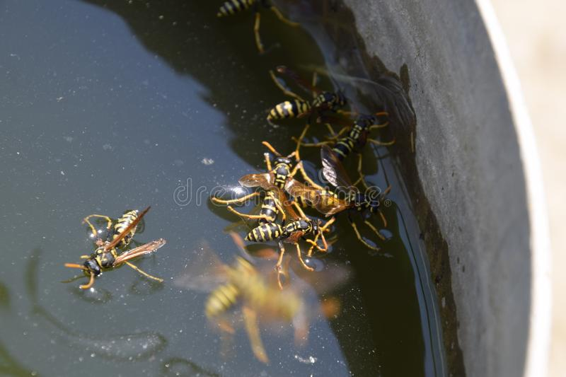 Wasps Polistes drink water. Wasps drink water from the pan, swim on the surface of the water, do not sink. Wasps drink water from the pan, swim on the surface stock photo