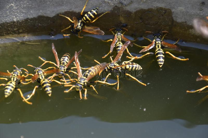 Wasps Polistes drink water. Wasps drink water from the pan, swim on the surface of the water, do not sink. Wasps drink water from the pan, swim on the surface stock photos