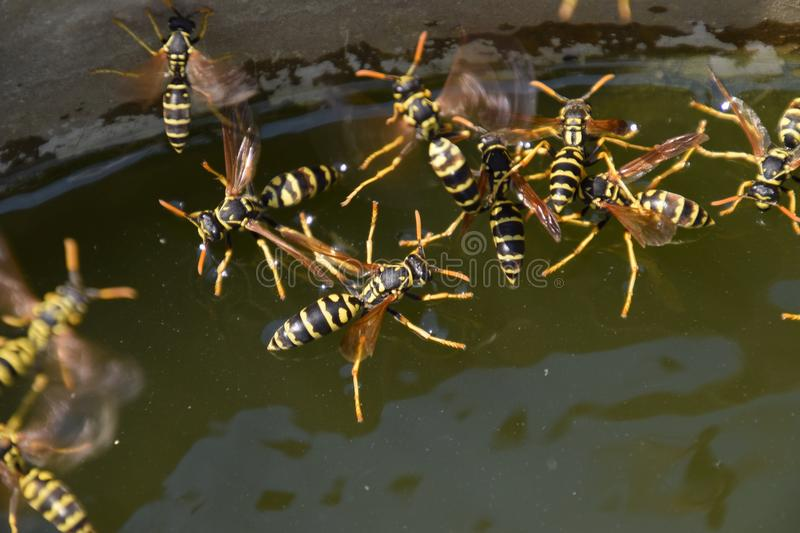 Wasps Polistes drink water. Wasps drink water from the pan, swim on the surface of the water, do not sink. Wasps drink water from the pan, swim on the surface stock photography