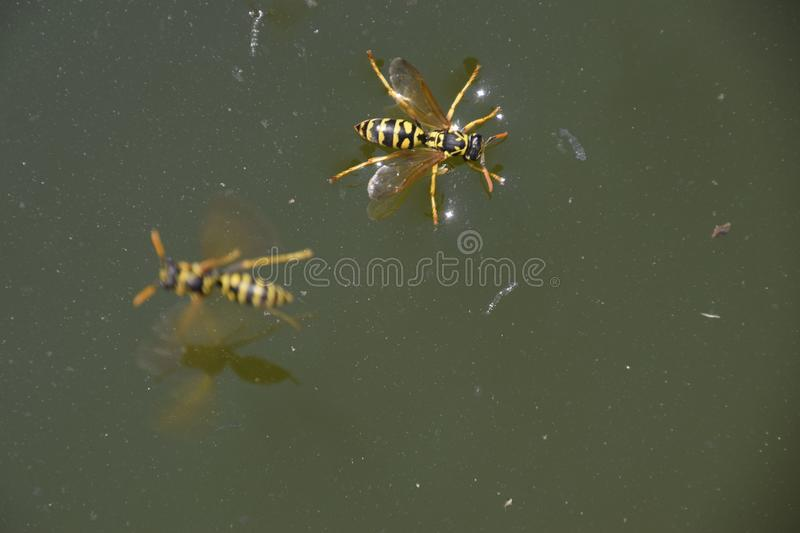 Wasps Polistes drink water. Wasps drink water from the pan, swim on the surface of the water, do not sink. Wasps drink water from the pan, swim on the surface royalty free stock photos