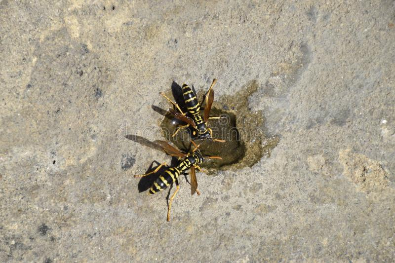 Wasps Polistes drink water. Watering in the summer heat royalty free stock photo