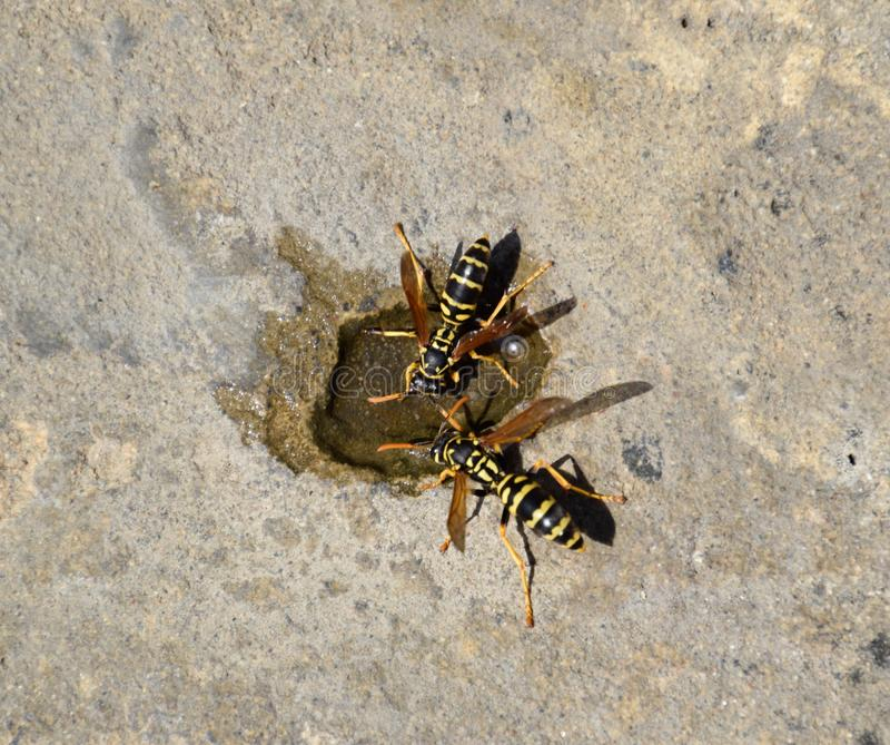 Wasps Polistes drink water. Watering in the summer heat stock image