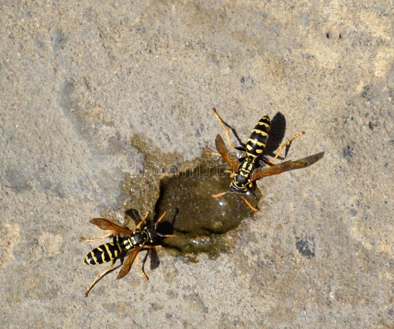 Wasps Polistes drink water. Watering in the summer heat stock photo