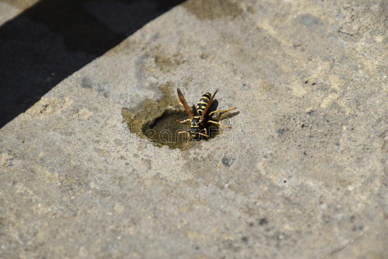 Wasps Polistes drink water. Watering in the summer heat royalty free stock image