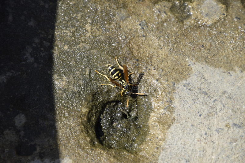 Wasps Polistes drink water. Watering in the summer heat royalty free stock photos