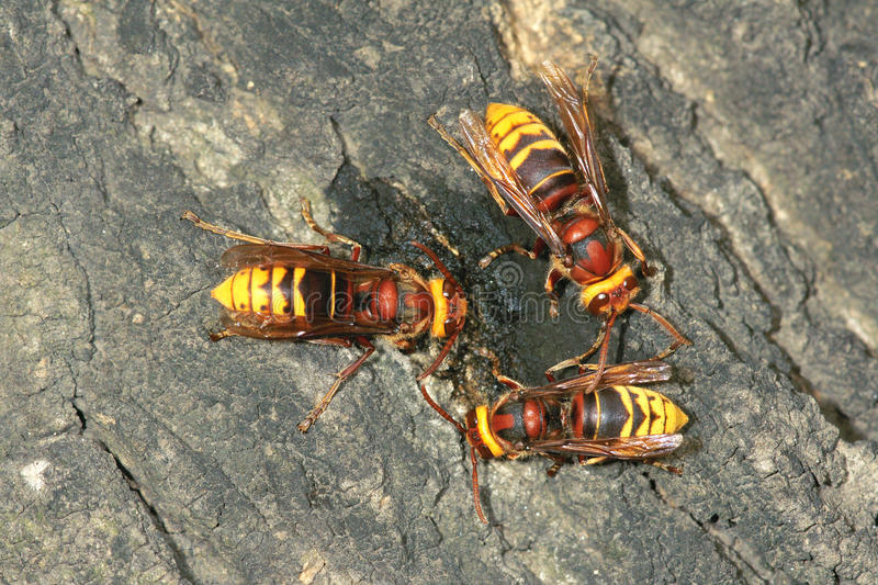 Wasps. Three wasps are sucking the sap royalty free stock image