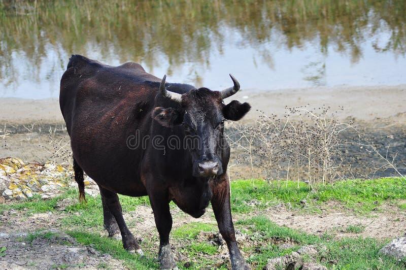 Wasser buffallo Aufladung stockfoto