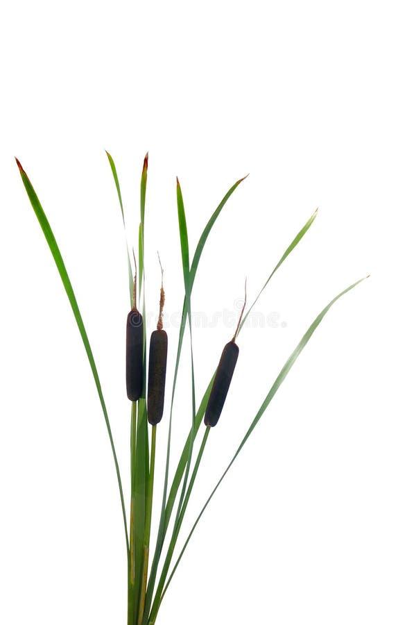 Wasser Cattails auf einem weißen Hintergrund stockfoto