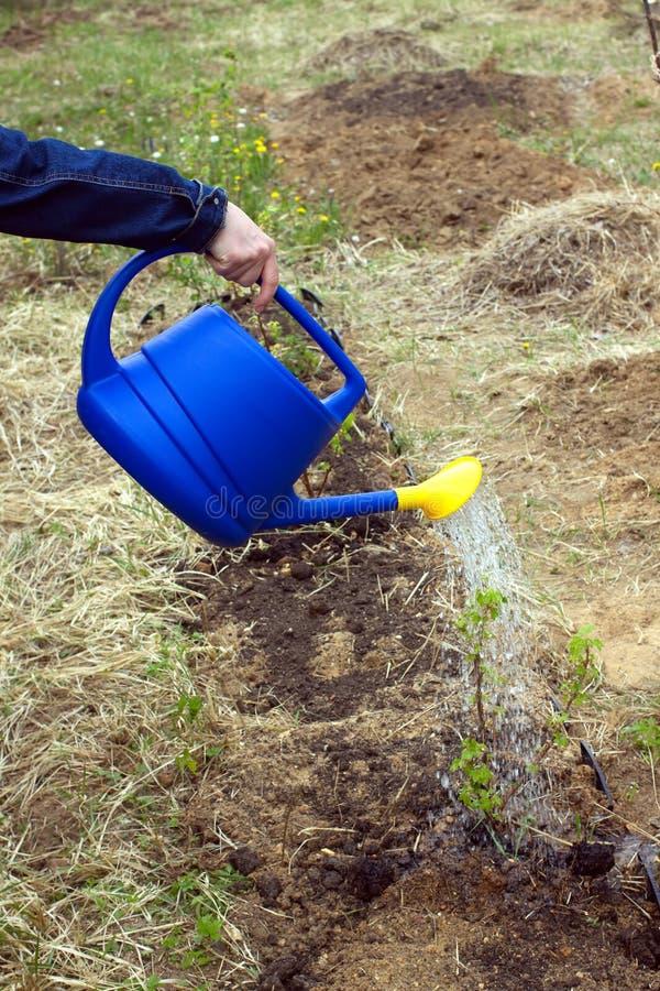 Wasser der Frau Handvon der blauen Plastikgießkanne stockfoto