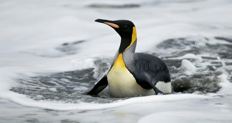 Wasser des König-Penguin On Belly In stockfotos
