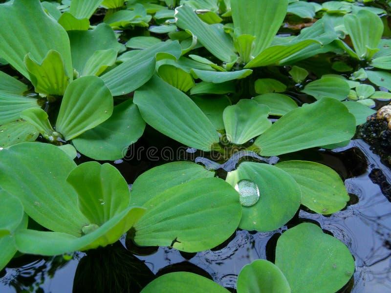 Wasser-Hyazinthe lizenzfreies stockbild