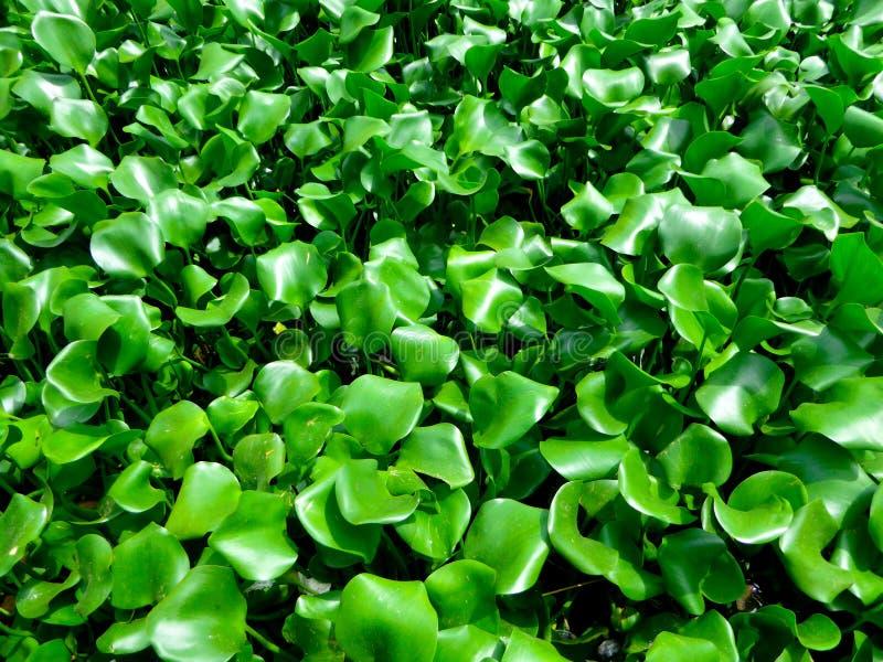 Wasser-Hyazinthe stockfotos