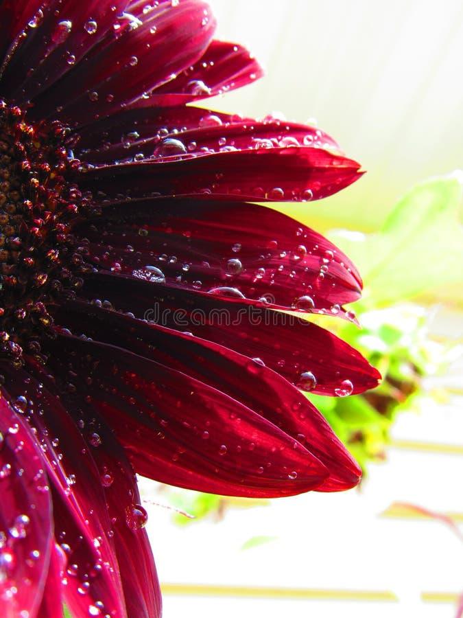 Wasser küsste rote Sonnenblume stockbild