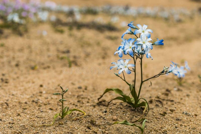 Wasser kommt zur trockensten Wüste in der Welt: Blühende Blumen Atacama stockfoto