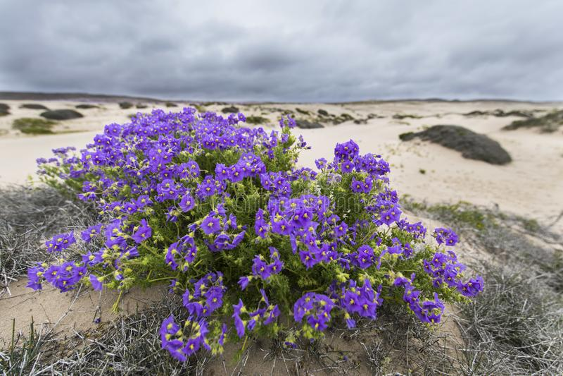 Wasser kommt zur trockensten Wüste in der Welt: Blühende Blumen Atacama lizenzfreie stockbilder