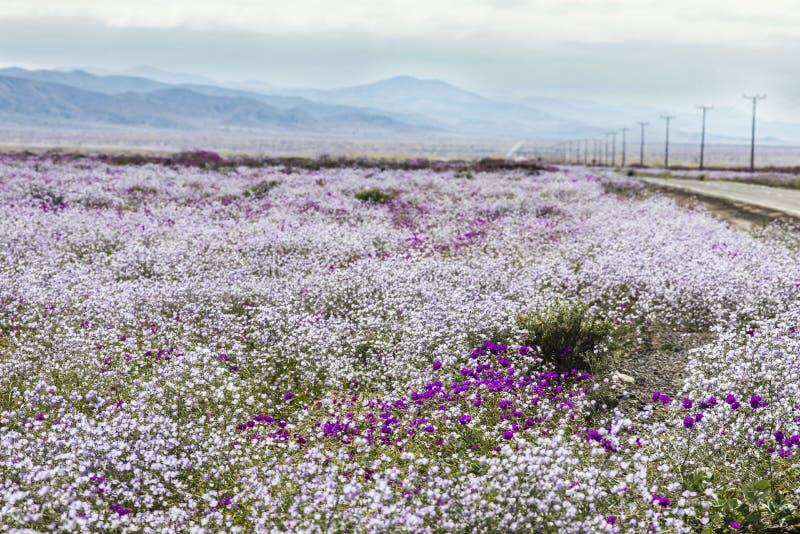 Wasser kommt zur trockensten Wüste in der Welt: Blühende Blumen Atacama stockbilder