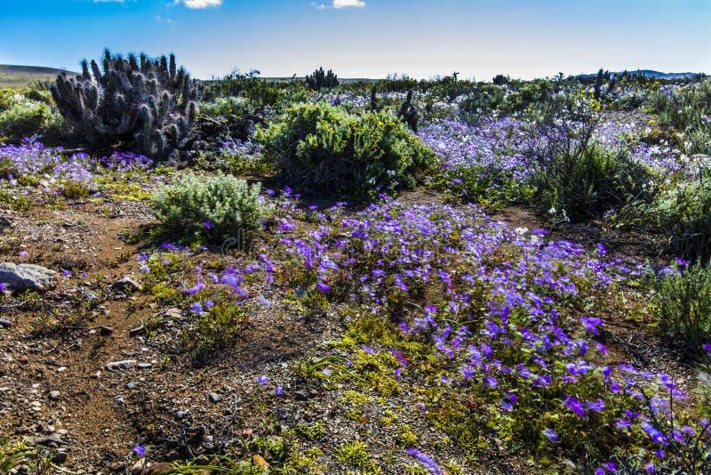 Wasser kommt zur trockensten Wüste in der Welt: Blühende Blumen Atacama lizenzfreies stockbild