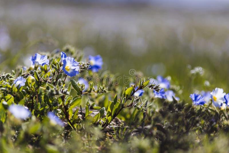 Wasser kommt zur trockensten Wüste in der Welt: Blühende Blumen Atacama stockfotografie