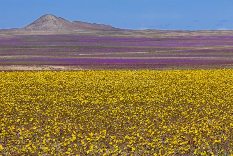 Wasser kommt zur trockensten Wüste in der Welt: Blühende Blumen Atacama lizenzfreie stockfotografie