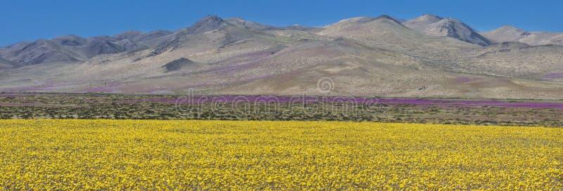 Wasser kommt zur trockensten Wüste in der Welt: Blühende Blumen Atacama stockbild