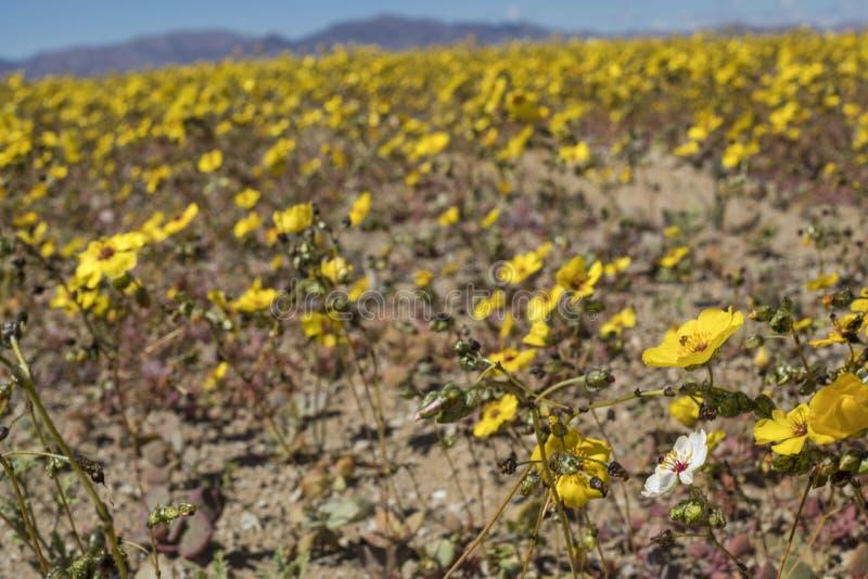 Wasser kommt zur trockensten Wüste in der Welt: Blühende Blumen Atacama lizenzfreie stockfotos