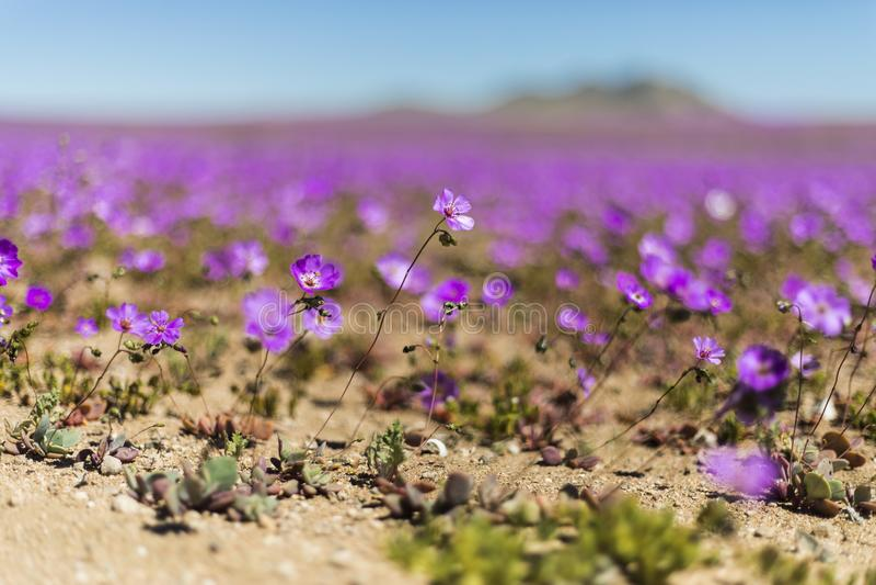Wasser kommt zur trockensten Wüste in der Welt: Blühende Blumen Atacama lizenzfreies stockfoto