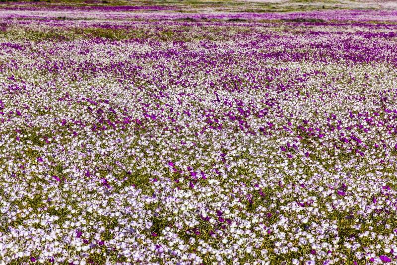 Wasser kommt zur trockensten Wüste in der Welt: Blühende Blumen Atacama stockfotos