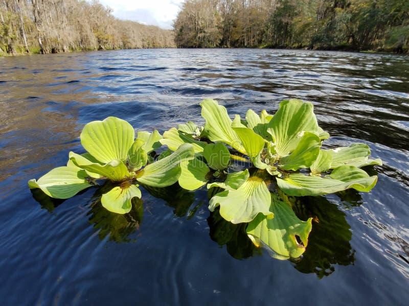 Wasser-Kopfsalat, der auf Fisheating-Nebenfluss, Florida schwimmt lizenzfreie stockbilder