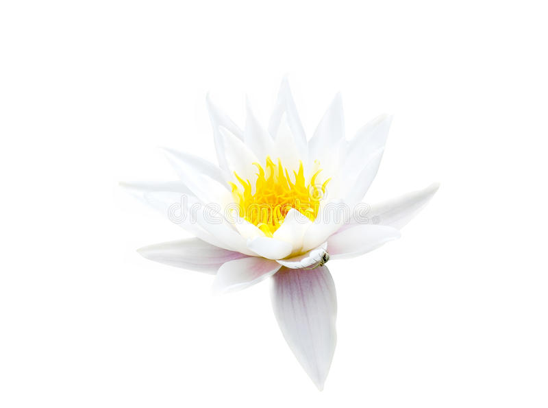 Wasser-Lilie lizenzfreies stockfoto