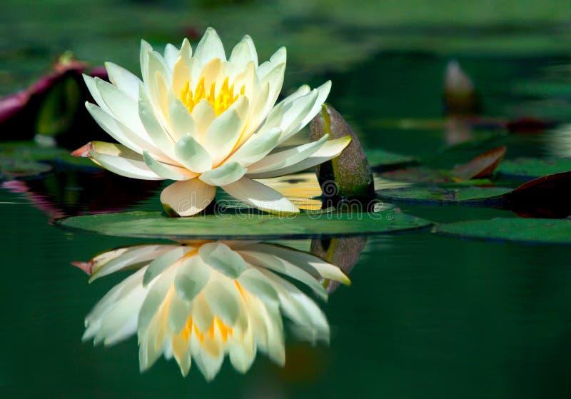 Wasser-Lilie lizenzfreie stockfotos