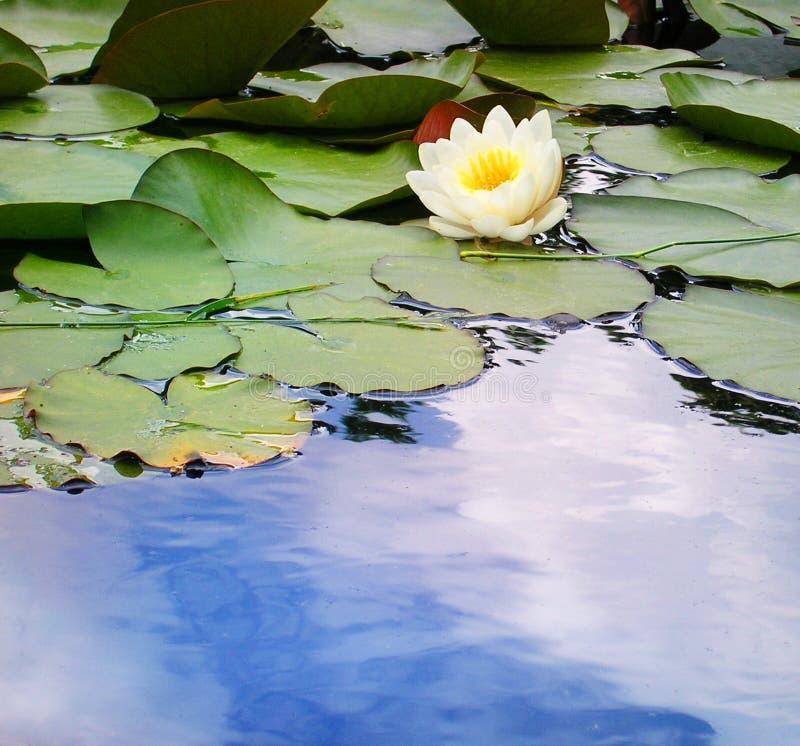 Wasser-Lilie In Einem Teich Lizenzfreies Stockfoto