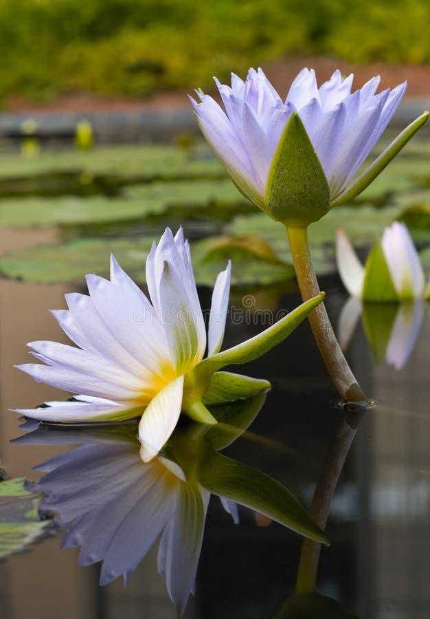 Wasser-Lilien stockfotos