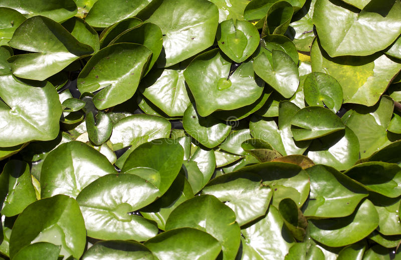 Wasser Lilly Auflagen lizenzfreies stockbild
