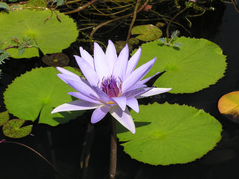 Wasser lilly duluxe stockbilder