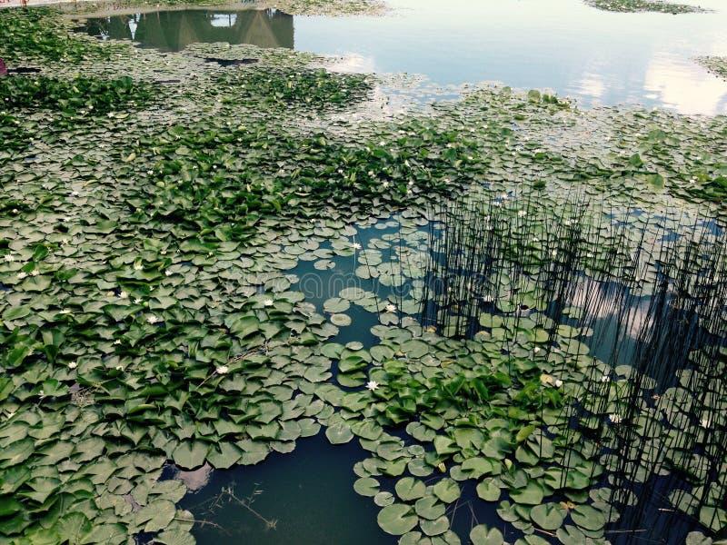 Wasser Lilys lizenzfreies stockfoto