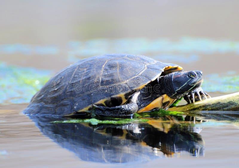 Wasser-Schildkröten lizenzfreie stockbilder