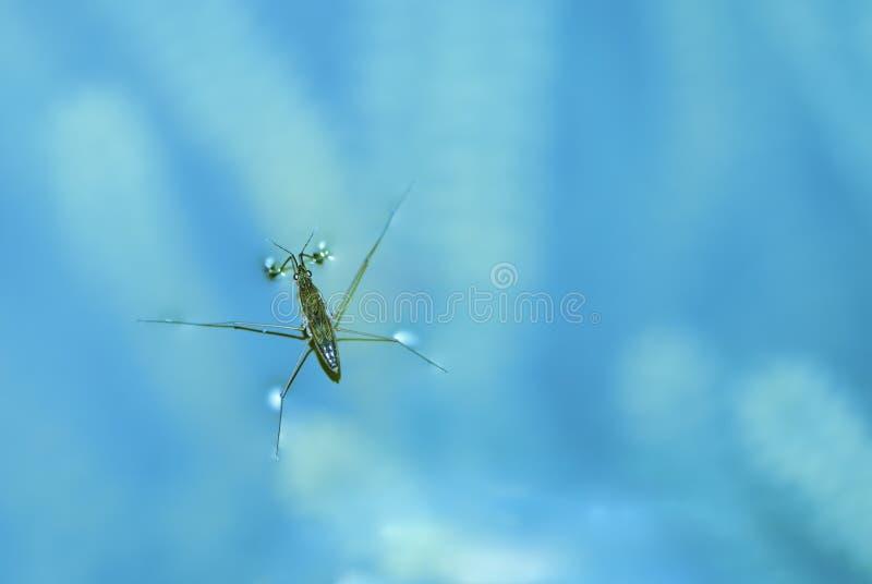Wasser strider stockfoto