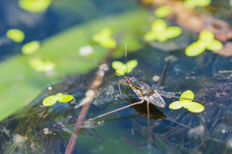 Wasser strider lizenzfreies stockbild